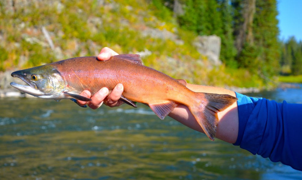 Salmon Found at NOCO Best Rivers Lakes and Trails