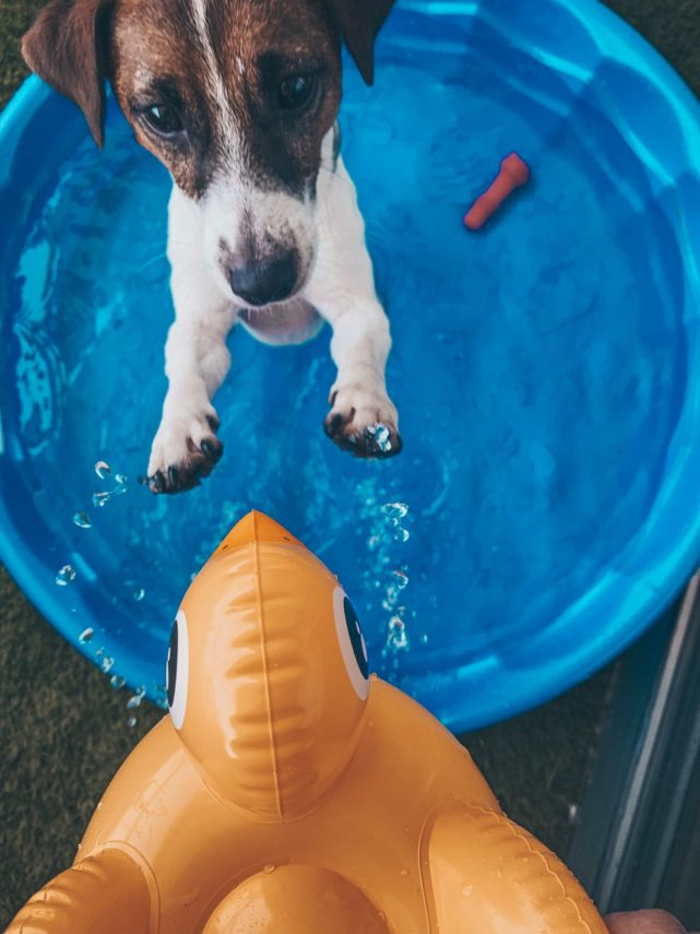 Swimming Pools are Great Fun for Your Pets