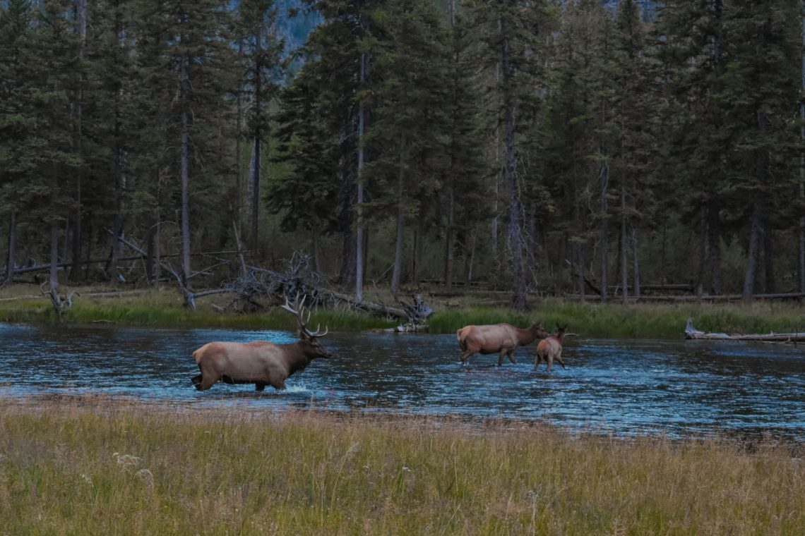Elk on Big Thompson River