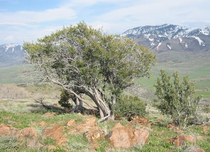 Mountain Mahogany found in Northern Colorado