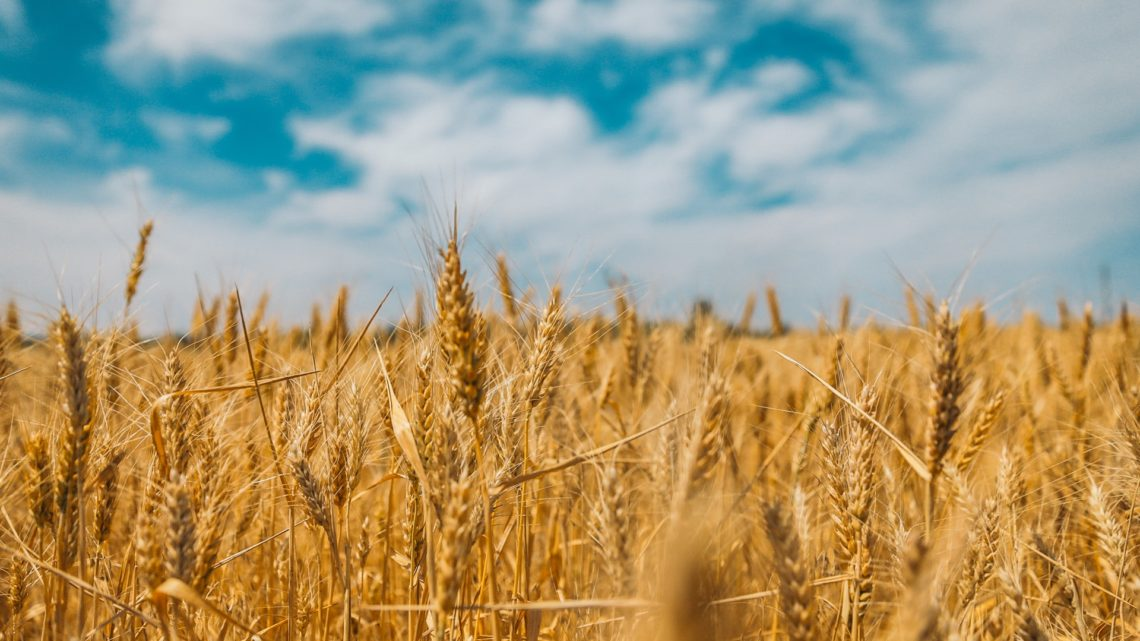 Once a farmland, Prairie Ridge Natural Area Still Has Wheat Growing in places