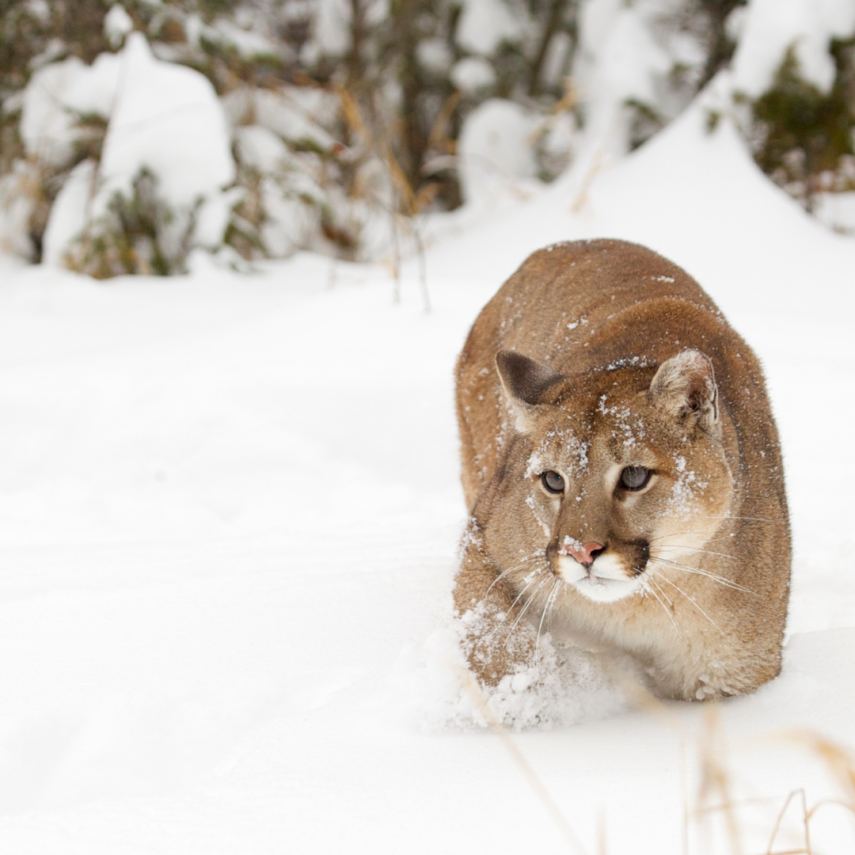 Mountain Lions are seen throughout our state